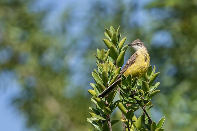 Cuereta groga - Lavandera boyera - Western yellow wagtail - Bergeronnette printanière - Motacilla flava