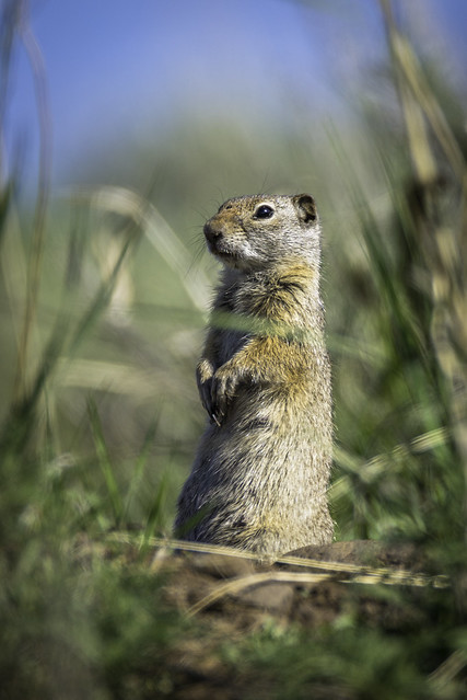 Ground Squirrel Pose