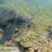 green sea turtle (Chelonia mydas) 20210710_Green Sea Turtle.jpg