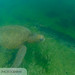 green sea turtle (Chelonia mydas) 20210710_Green Sea Turtle 2.jpg