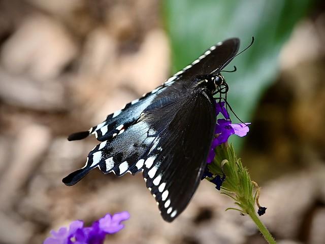 Black Swallowtail 7/31/21