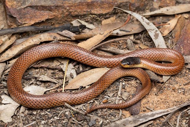 Dwyer's Snake - Parasuta dwyeri
