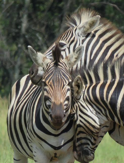Faces  (  Zebra  )