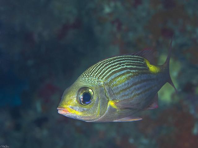 Striped Large-eye Bream - Gnathodentex aureolineatus