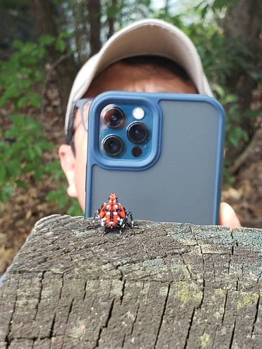 Image of a man taking a picture of a red, black, and white insect on a wooden board with his cell phone