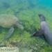 Galapagos Sea Lion (Zalophus wollebacki) 20210710_3.jpg