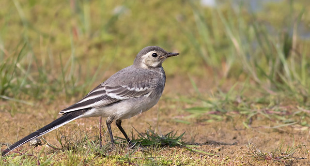 Pied wagtail 16036