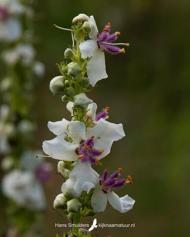witte toorts (Verbascum lychnitis)-850_4821