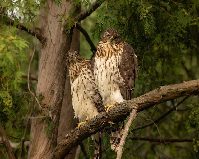 2 Juvenile Cooper Hawks siblings