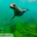 Galapagos Sea Lion (Zalophus wollebacki) 20210710_3 sea lion 3.jpg