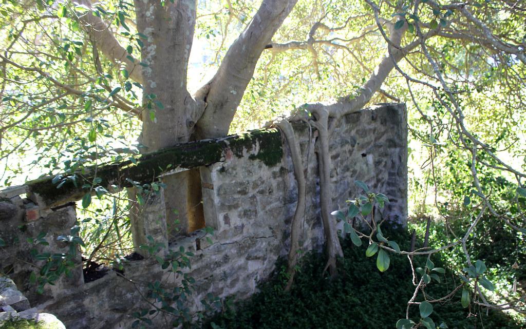 Port Jackson Fig (Ficus rubiginosa)
