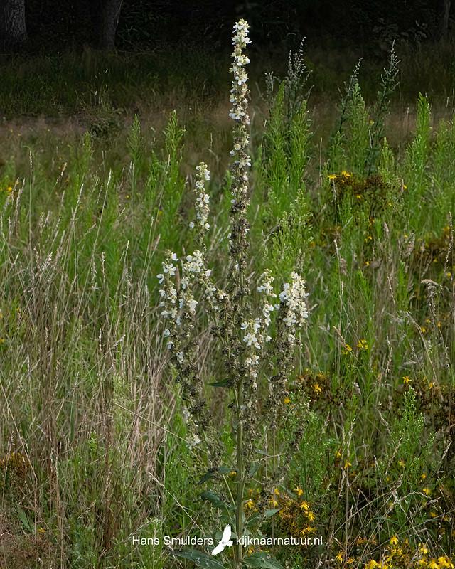 witte toorts (Verbascum lychnitis)-850_4824