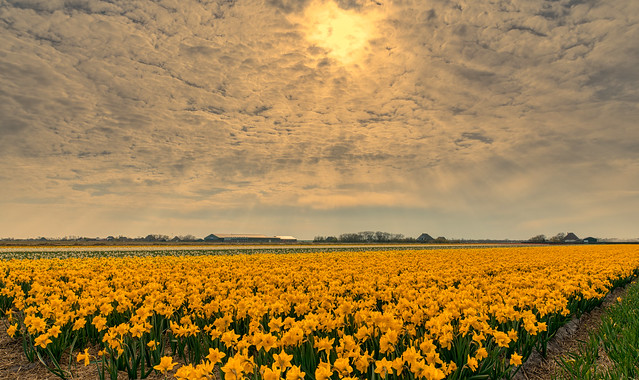 Domesticated Daffodils.