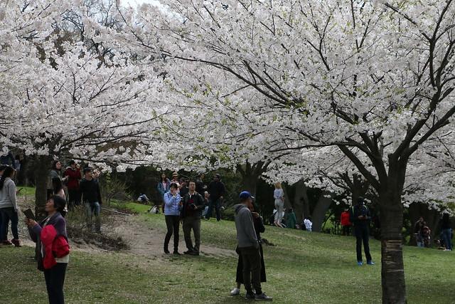 High Park - Toronto - Cherry Blossoms