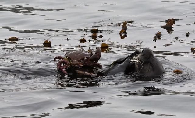 Sea Otter crab feast