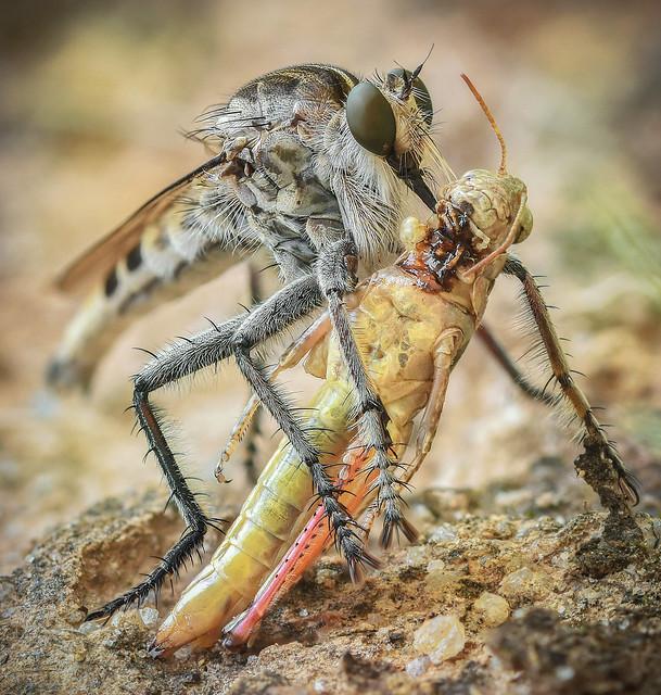 Robber fly (Triorla Interrupta) with its prey