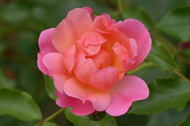 Rose 'Maxi Vita'