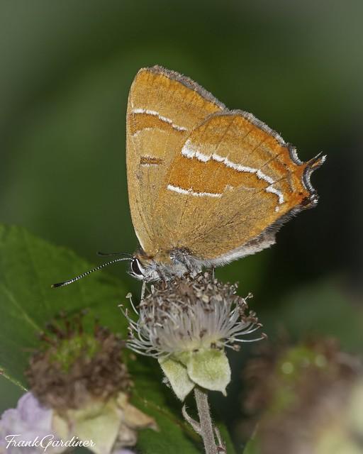 Brown Hairstreak (male)