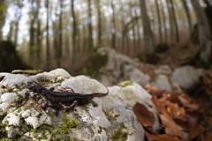 Salamandrina di Savi