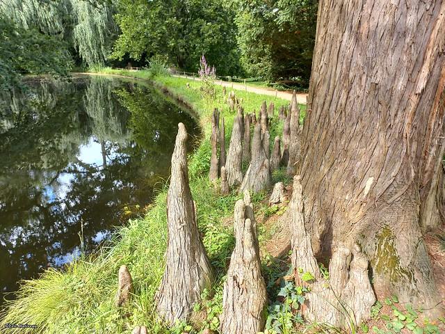 Racines-aériennes-de-cèdre-pleureur---Arboretum-de-La-Vallée-aux-Loups3©