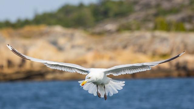Fiskmås letar efter föda - Seagull looking for food