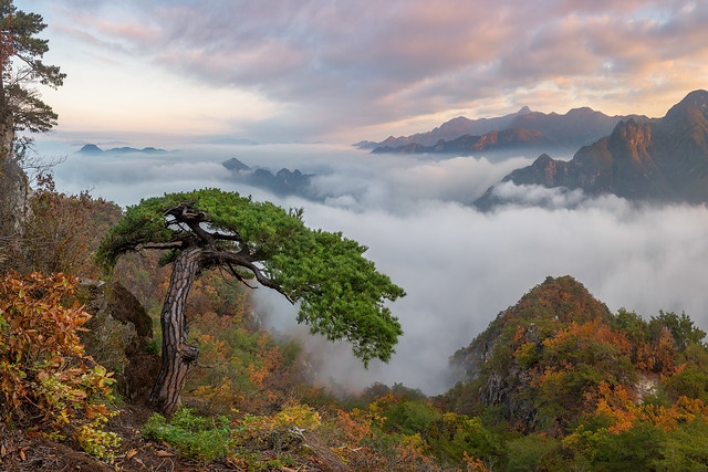 Cobra Pine of Wolaksan