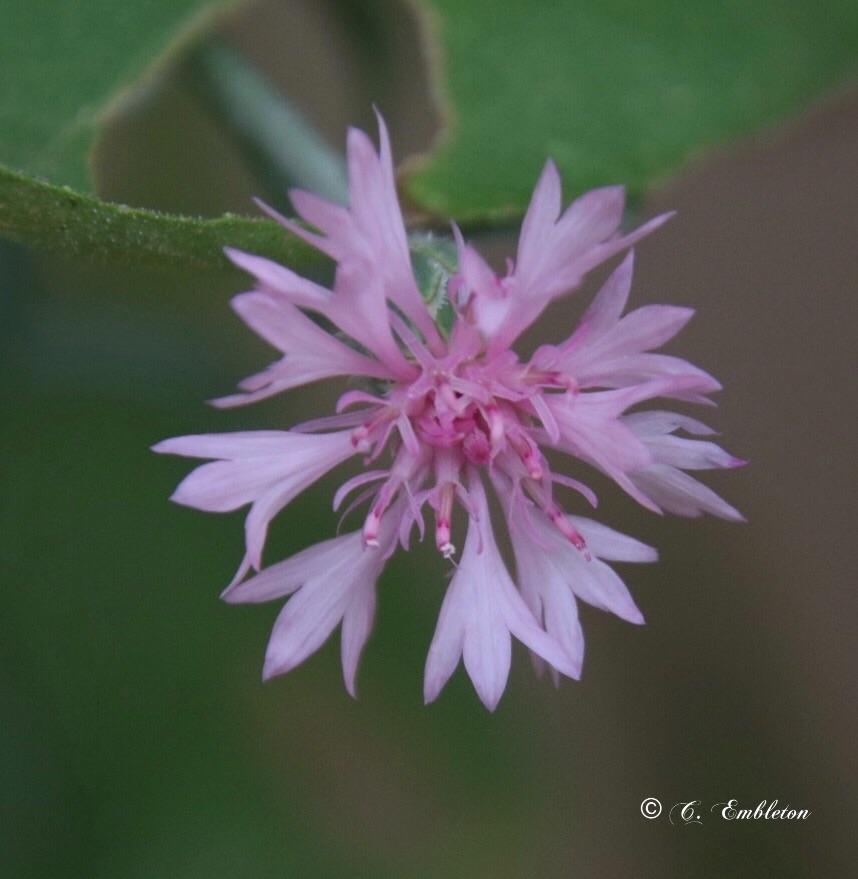 Pink wild flower (Explore 8/7/2021)