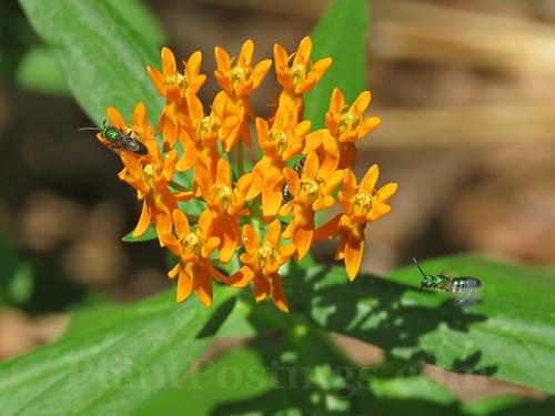 butterflyweed new