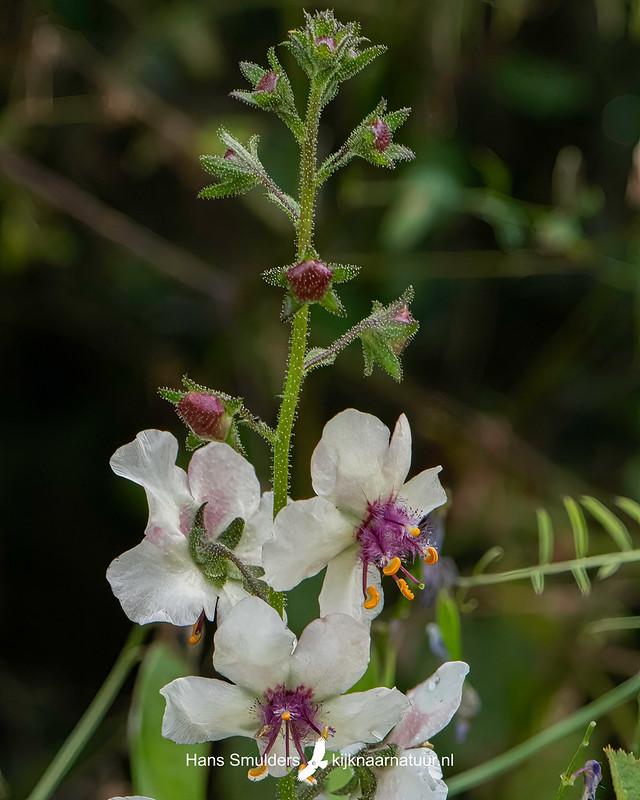 Mottenkruid (Verbascum blattaria)-850_4852