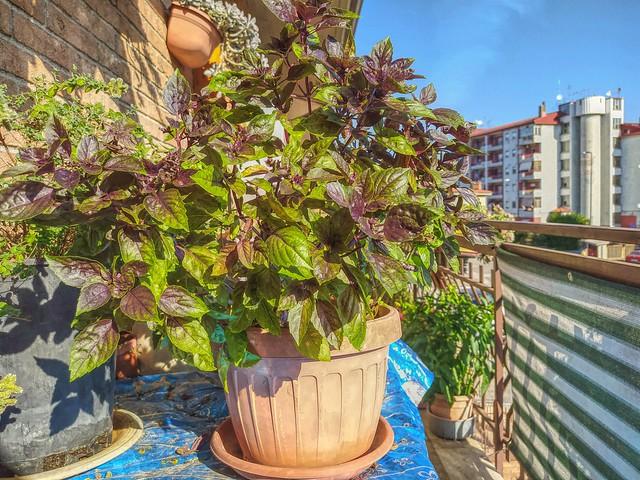 Basil on my balcony!