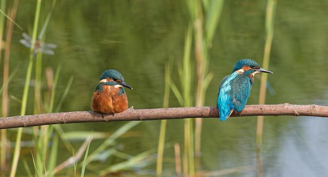 Kingfisher Double