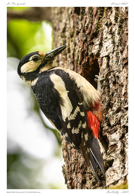 Le pic épeiche |  Great Spotted Woodpecker