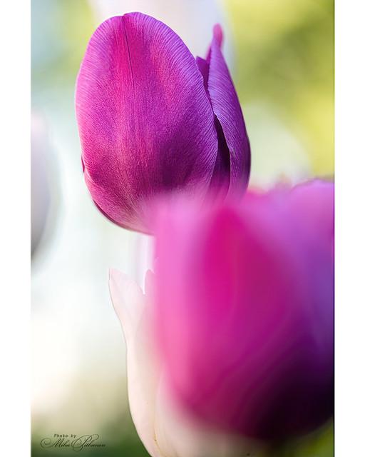 Purple Petals 2