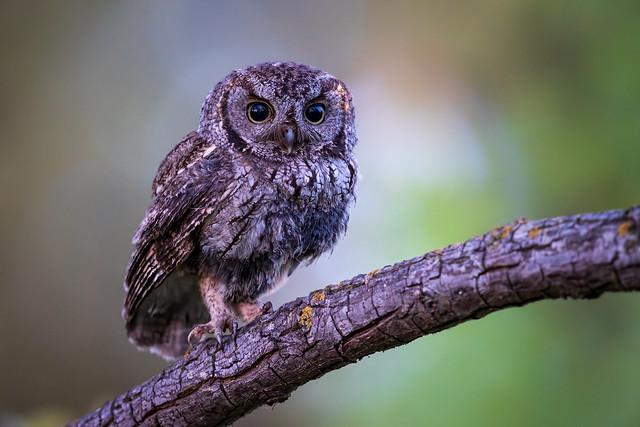 Western Screech Owl, Female