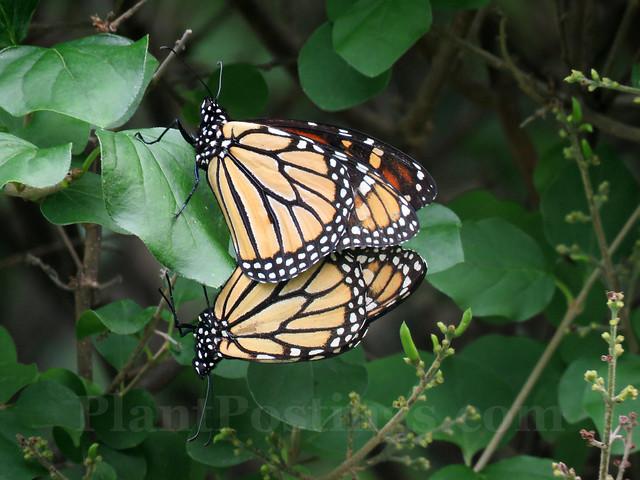 monarchs mating