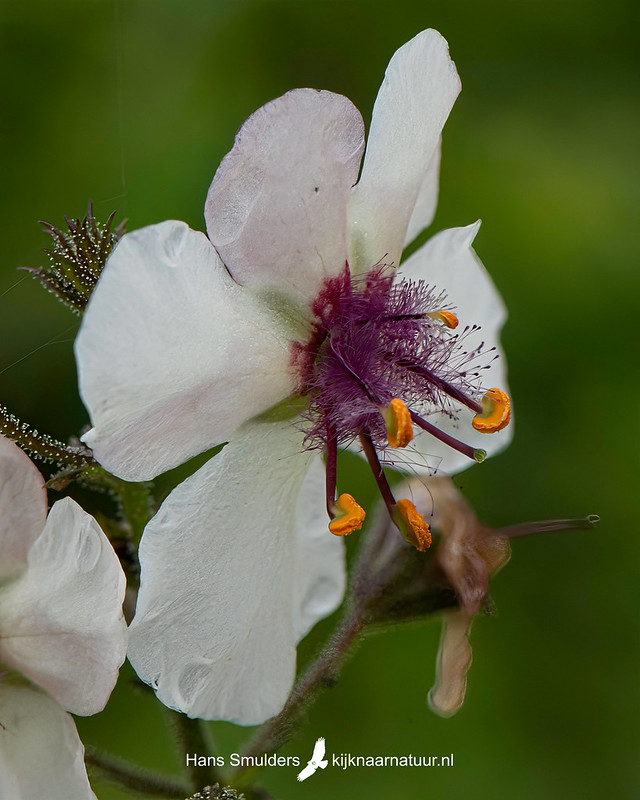 Mottenkruid (Verbascum blattaria)-850_4869
