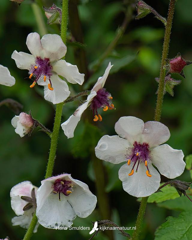Mottenkruid (Verbascum blattaria)-850_4859