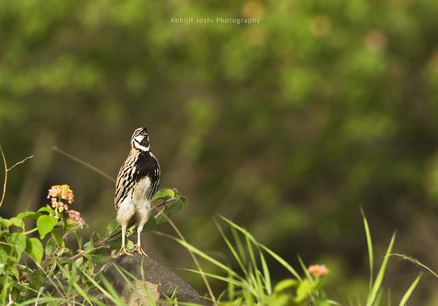 Rain quail