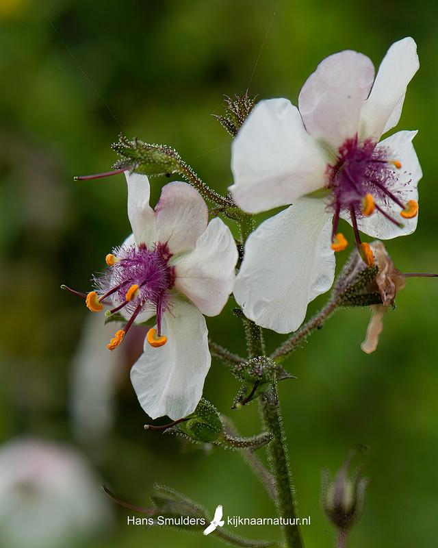 Mottenkruid (Verbascum blattaria)850_4867