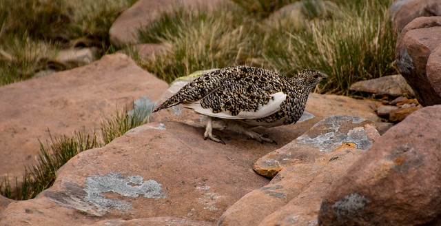 Ptarmigan with a covey of chicks