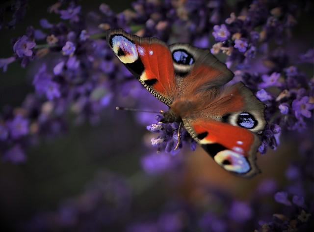 B.utterfly on lavender.B.looms 💙 HSoS