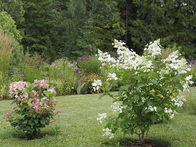 Hydrangea paniculata 'Early Sensation' & 'Pink Diamond'
