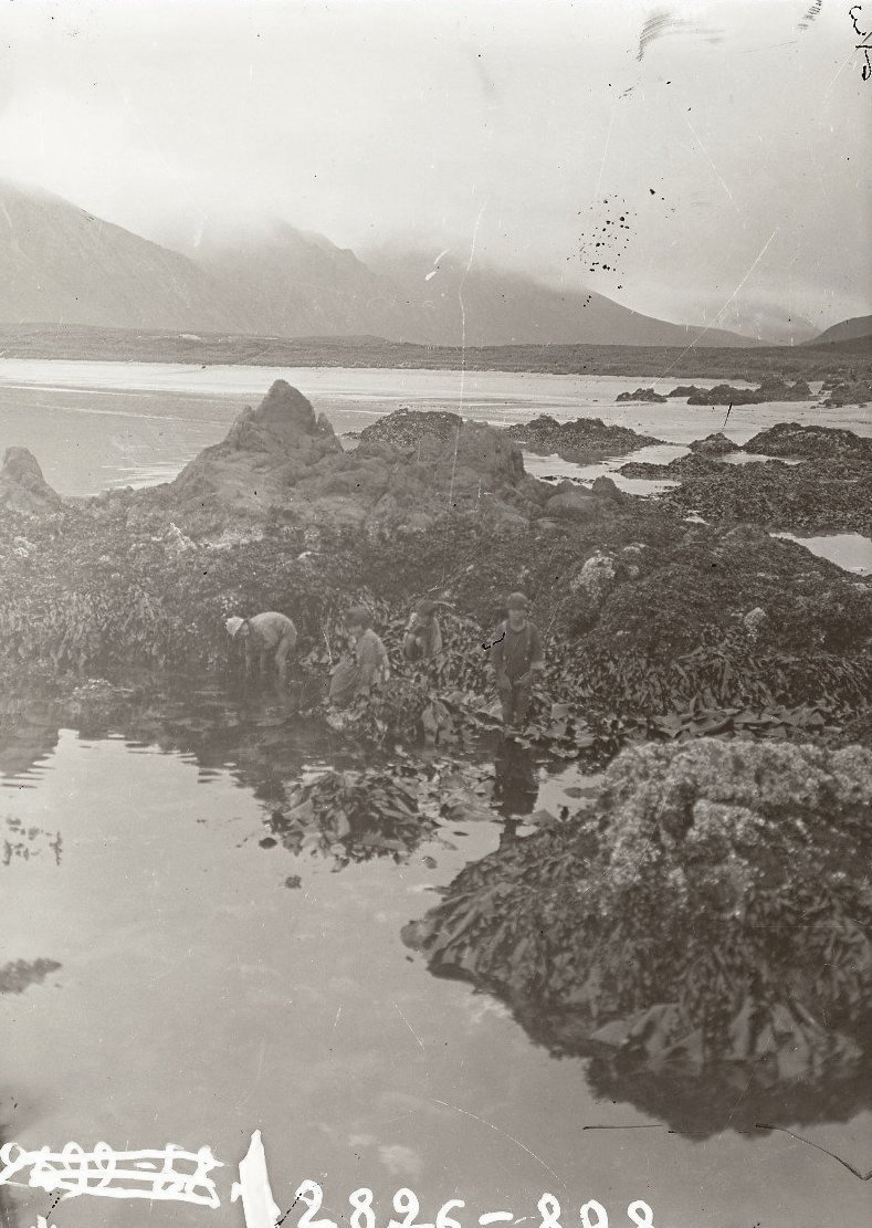 1909. 26 июля. Алеутские дети достают водоросли. Атту остров