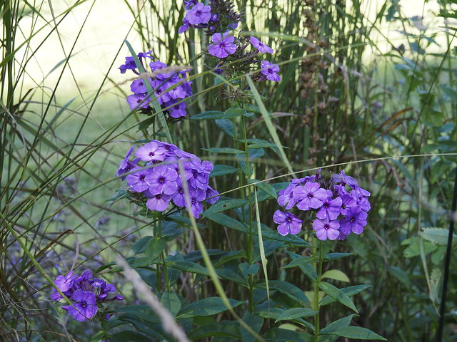 Phlox paniculata 'Purple Sensation'