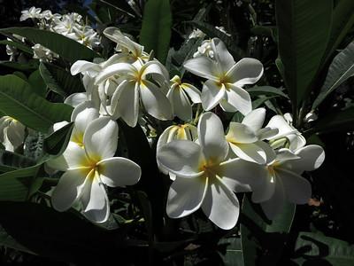 Plumeria at the L.A. Arboretum (5660)