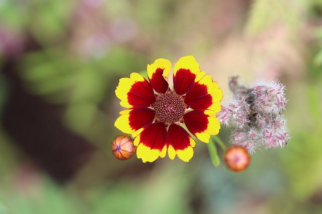 Tigeröga (Coreopsis tinctoria) är en ettårig (anuell) växt.