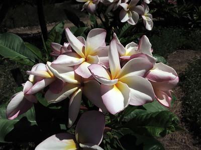 Plumeria at the L.A. Arboretum (5657)