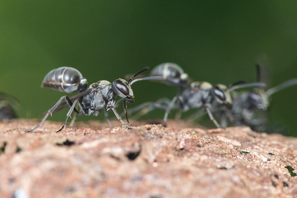 Stingless bees (Apidae)