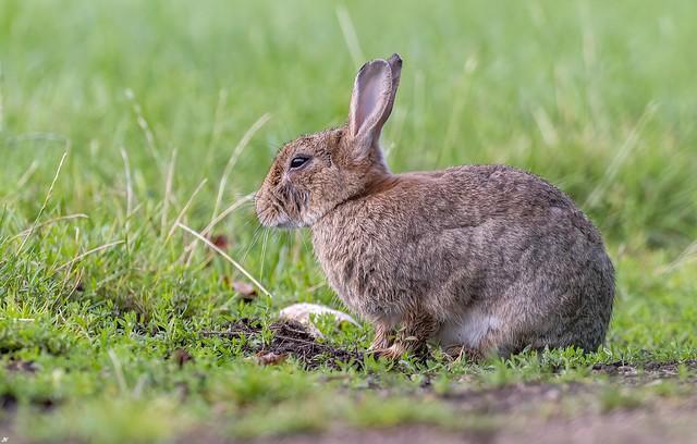 European Rabbit.