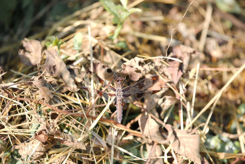 dragonfly20